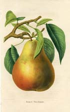 Fruit Prints - Pears (No. 11890715)