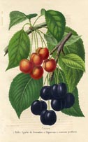 Fruit Prints - Cherries (No. 11890717)