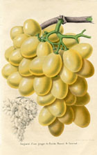 Fruit Prints - Grapes (No. 11890719)