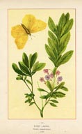 Willow-herb Print (No. 11950049)