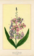 Willow-herb Print (No. 11950052)