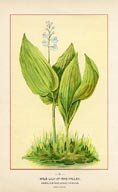 Lily-of-the-Valley Print (No. 11950091)
