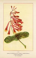 Honeysuckle Print (No. 11950097)