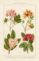 Rhododendron Print (No. 60760201)