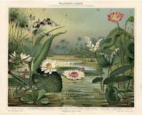 Water Lily Print (No. 61310103)