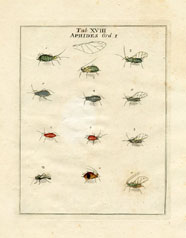 Aphid Print (No. 20020018)