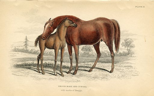 Brood Mare and 3rd Foal (with marks of Quagga)