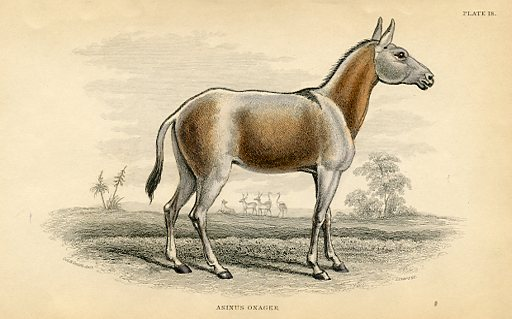 The Onager (Donkey)