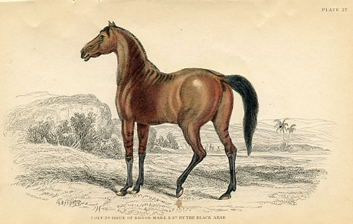 Colty, issue of Brood Mare and Black Arab