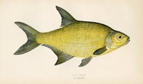 Bream Print (No. 20600187)