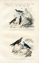 Bird Prints - Swallow (No. 20670008)