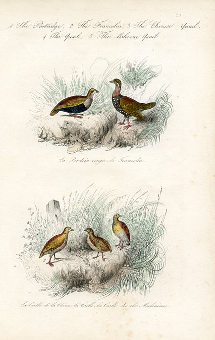 Partridge, Francolin, Quail