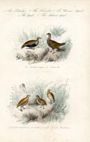 Bird Prints - Quail (No. 20670020)