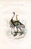 Bird Prints - Ostrich (No. 20670028)