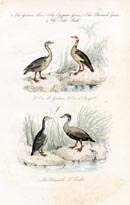 Bird Prints - Goose (No. 20670035)