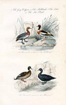 Bird Prints - Ducks (No. 20670037)