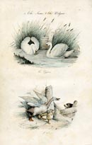 Bird Prints - Swan (No. 20670038)