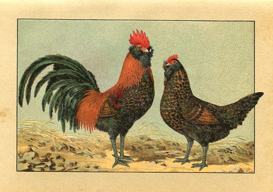 Golden Thuringer Beared Chickens