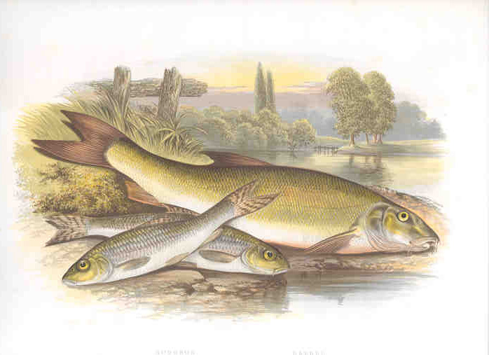 Gudgeon and Barbel