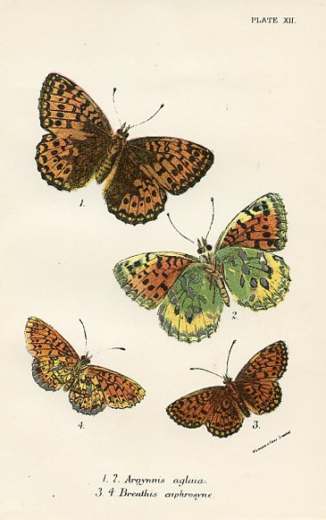 Argynnis and Brenthis