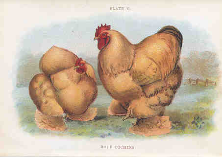 Buff Cochins