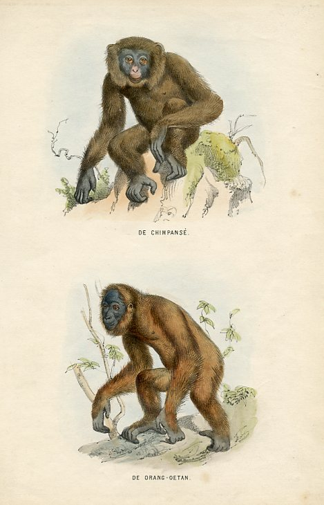 Chimpanzee and Orang-outang