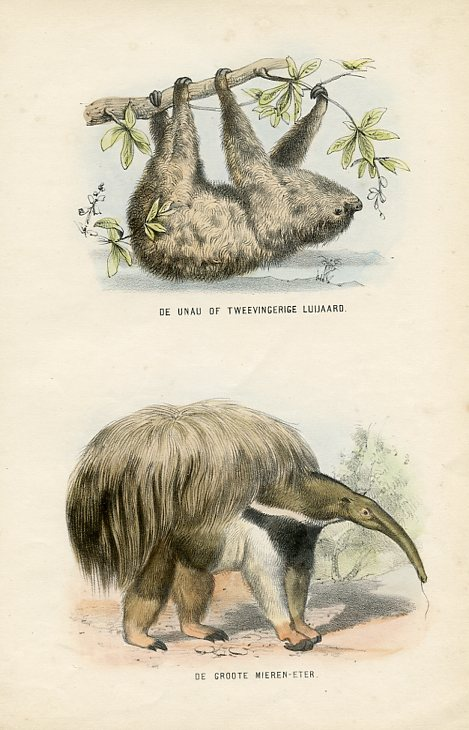 Two-toed Sloth and Anteater