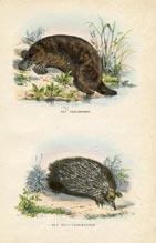 Hedgehog Print (No. 21270134)