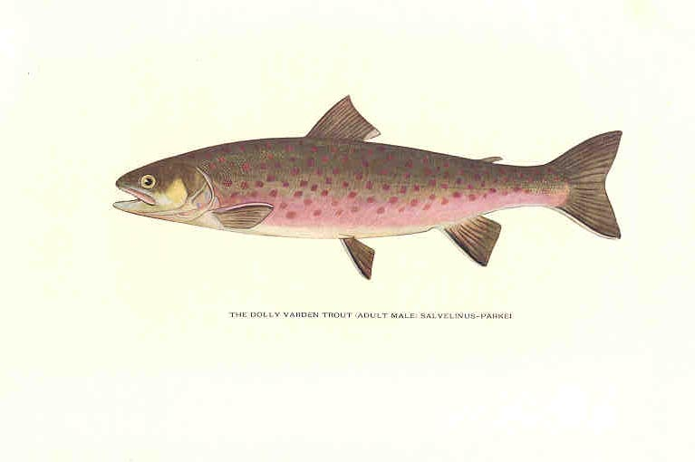 Dolly varden trout am for Dolly varden fish