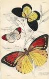 Butterfly Print (No. 21450007)