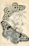 Butterfly Print (No. 21450010)