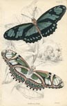 Butterfly Print (No. 21450013)