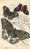 Butterfly Print (No. 21450015)