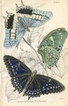 Butterfly Print (No. 21450017)