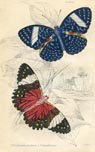 Butterfly Print (No. 21450018)