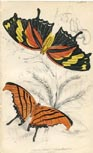 Butterfly Print (No. 21450019)
