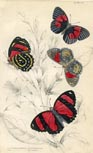 Butterfly Print (No. 21450020)