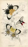 Butterfly Print (No. 21450024)
