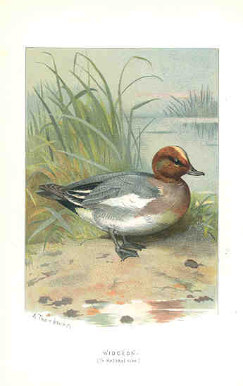 Widgeon