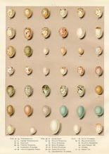 Bird Egg Prints - Warbler (No. 21630002)