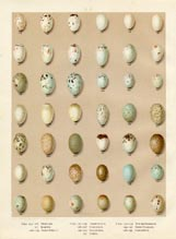 Bird Egg Prints - Swallow (No. 21630004)