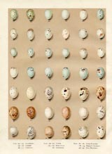 Bird Egg Prints - Bullfinch (No. 21630005)