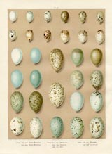 Bird Egg Prints - Jay (No. 21630006)