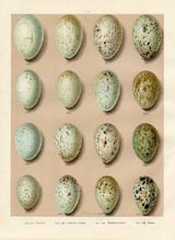 Bird Egg Prints - Raven (No. 21630007)