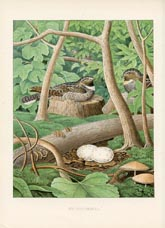 Bird Egg Prints - Whippoorwill (No. 21760023)