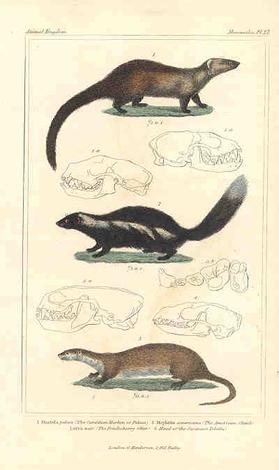 Canadian Marten, American Skunk and Otter