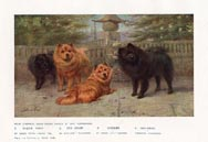 Chow-Chows Print (No. 21880009)