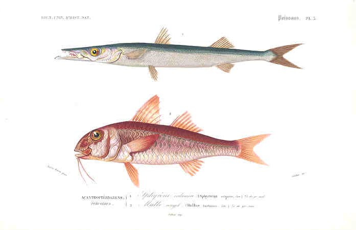 Barracuda and Goatfish