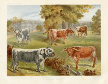 Dairy Farming Prints - Cattle (No. 22210002)