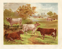 Dairy Farming Prints - Cattle (No. 22210003)